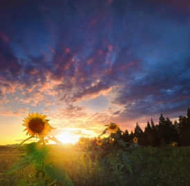 Sunflowers bloom in summer, everyone will work together smiling.
